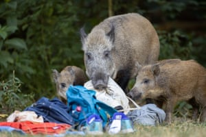 A wild boar and its two newborns in Teufelssee in Grunewald, Berlin, where it recently chased a naked man. The state forestry office has announced it will keep a close eye on the animals because of possible risks to humans