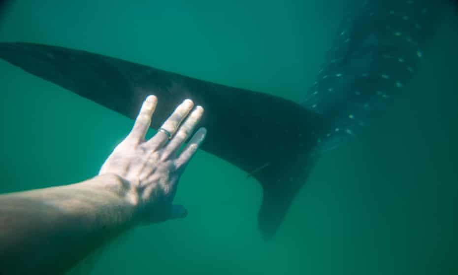 a diver off Mexico reaches out to touch a whale shark.