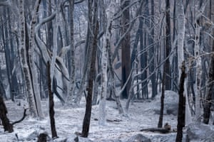 A forest of ashen trees appear as if in a winter scene in the wake of flames as the Windy Fire continues to spread south of California Hot Springs.