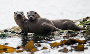 A European otter mother and cub on Yell, Shetland Islands.