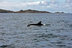 Minke Whale near the Sound of Iona, Scotland