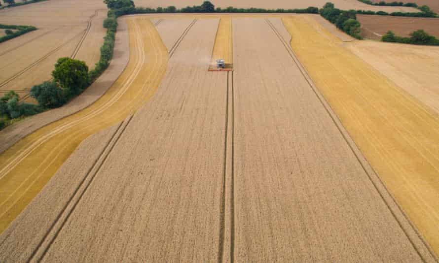 Field of dreams: grains growing in Suffolk.