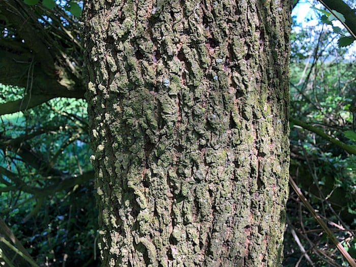 Country Diary It S Hard To See How English Elms Can Have Survived Trees And Forests The Guardian