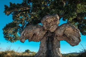 Cork oak (Quercus suber), Ghisonaccia, France