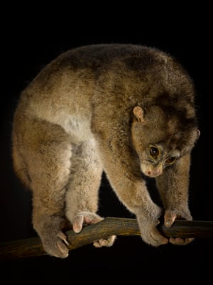 Potto – least concernPottos use a distinctive head-down posture when threatened by predators such as genets and use long sensitive hairs on their napes to detect when threatening jaws are closing in.