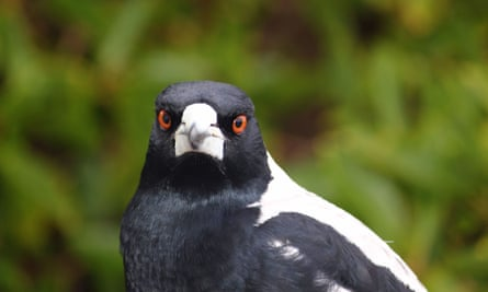 This magpie insists you vote for it in the Guardian's Australian Bird of the Year poll. Or else.
