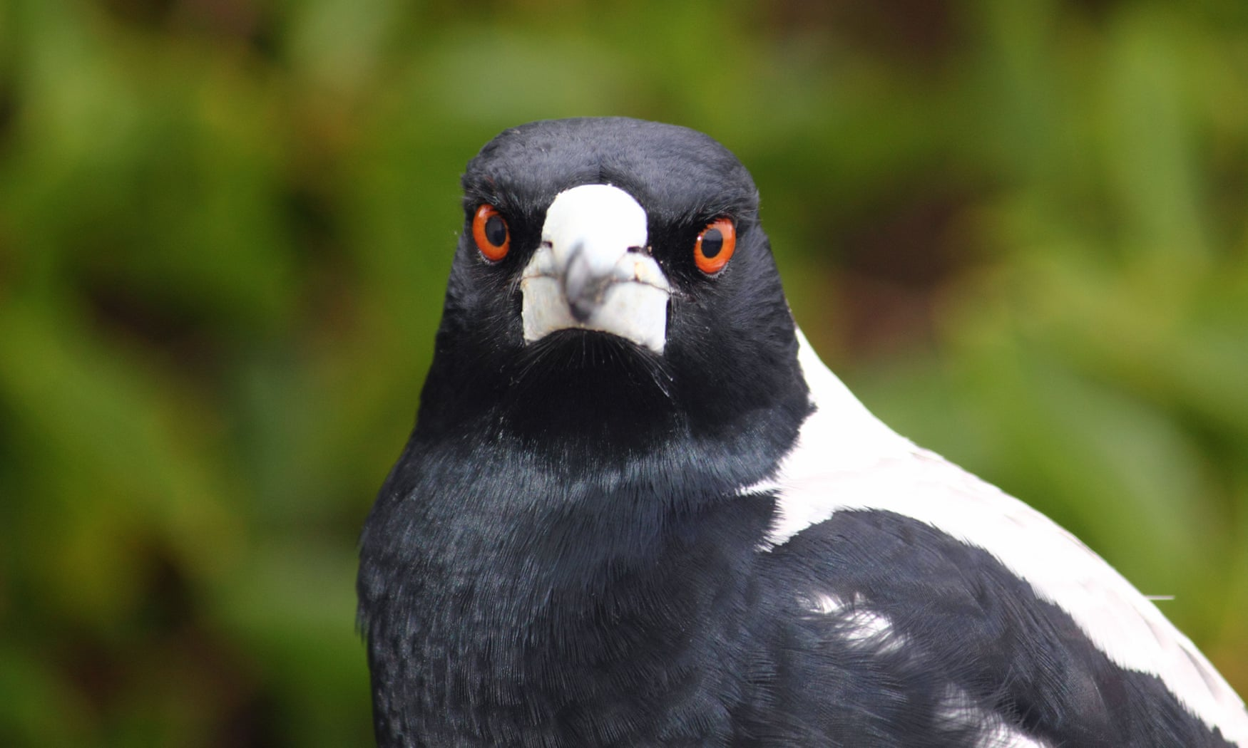 POLL: Should Australian magpie attacks be deterred by killing or relocating them?