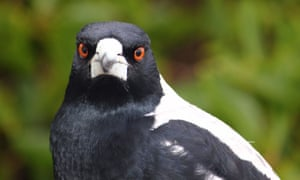 When Magpies Attack The Swooping Dive Bombing Menace And