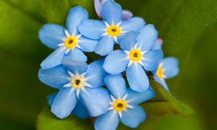 Forget-me-nots are vigorous self-seeders.