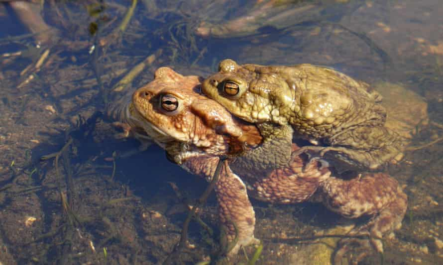 Breeding toads. The study used data from volunteer patrols set up to help the amphibians cross roads.