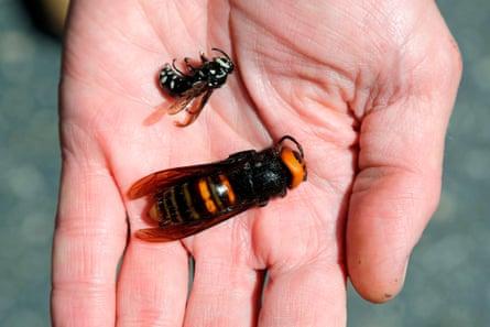 An Asian giant hornet next to a native bald-faced hornet.