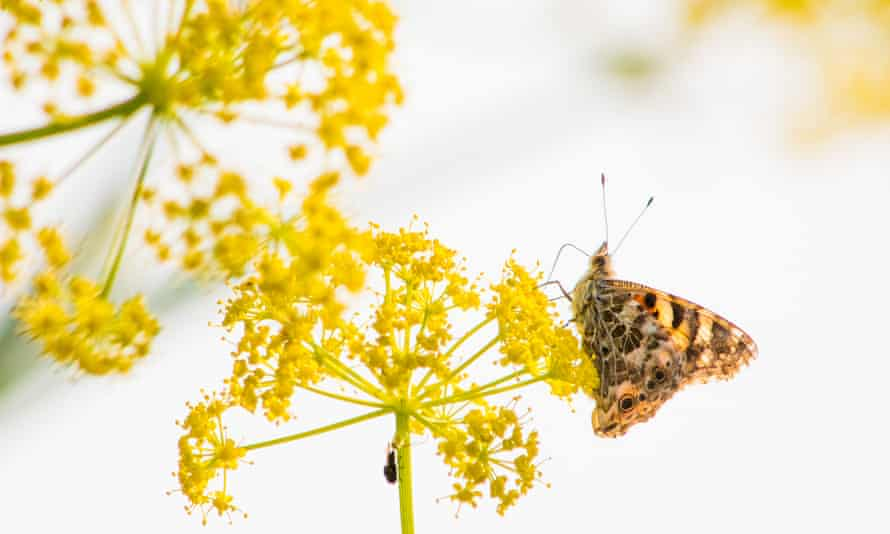 A migrating painted lady rests on a flower in Cyprus.