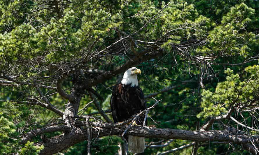 A bald eagle on Saturnina Island.