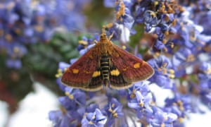 Among the native pyralid species is this day-flying mint moth.