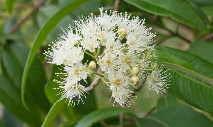 Lemon scented myrtle, rich in citral oil, in bloom.