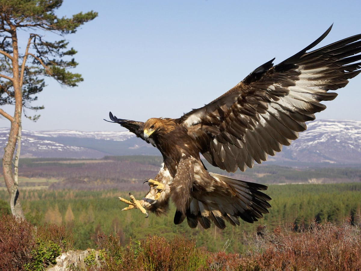 Grouse Moors Under Fire After Golden Eagle Tag Found In Scottish River Birds The Guardian