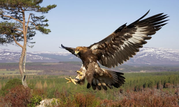 Grouse moors under fire after golden eagle tag found in Scottish river
