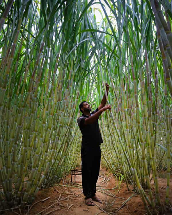 Sugar cane farmed in the Gaza Strip. Ecosystem services can make land more valuable than even lucrative cash crops such as sugar and cocoa.