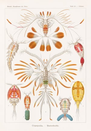 Crustaceans Art Forms in Nature, 1899–1904, plate 56