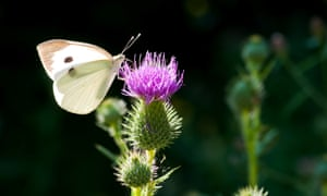 Cabbage butterfly on thistle flower .