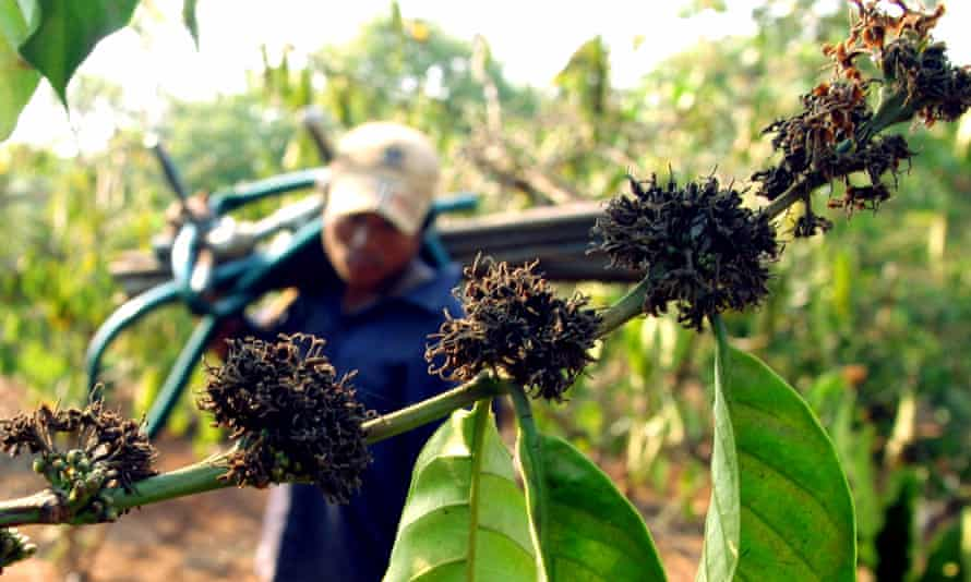 A Vietnamese farmer walks past a drought-hit coffee plantation in the Daklak province.
