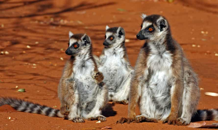 Ring-tailed Lemurs are very common in zoos but critically endangered in the wild