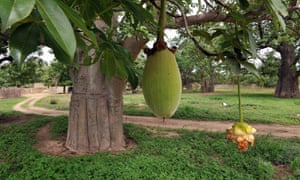 A fruit from a baobab tree hangs from a branch in Thiawe Thiawe. Senegal