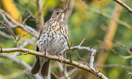 A song thrush perched on a branch