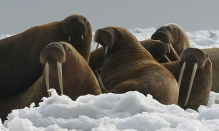 Pacific walrus cows and yearlings rest on ice in Alaska. 'At this time, sufficient resources remain to meet the subspecies' physical and ecological needs now and into the future,' US officials said.