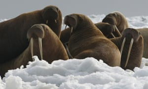 The Trump administration reversed an Obama administration decision to name the Pacific walrus as a candidate for Endangered Species Act protection.