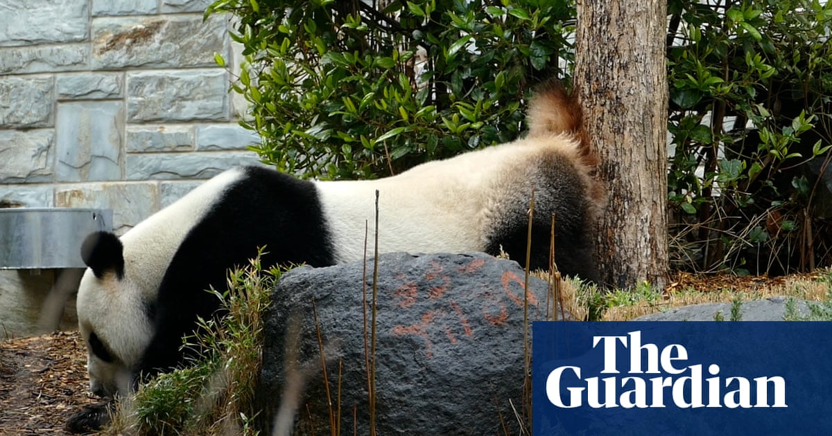 Panda 'twerks' around pen to prepare for rare mating event at Adelaide zoo – video