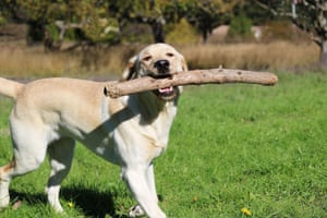 Labradors with stick in mouth