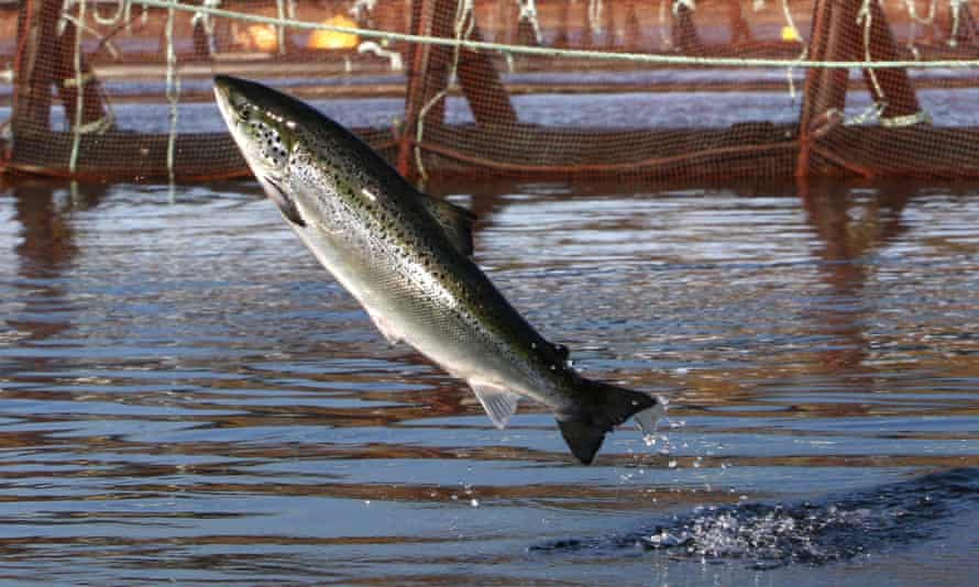 An Atlantic salmon leaps out of the water.