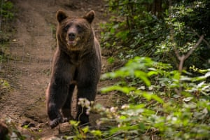 A bear at Bear Wood near Bristol, UK, part of the Wild Place project, in which for the first time in more than 1,000 years native bears and wolves are coming snout to muzzle with each other in a slice of British woodland.