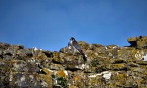 A peregrine falcon at Corfe Castle, in Dorset
