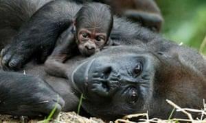 photograph of baby gorilla Kimye