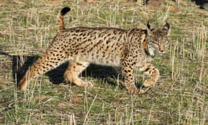 An Iberian lynx