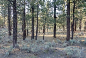 In spring 1992, Khalsa planted a thousand ponderosa pine trees as part of an attempt to reforest the Holcomb valley that had been clearcut by settlers during the southern California gold rush of 1860