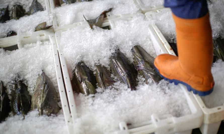 A fish market trader stands on crates of cod as they sit in ice at Peterhead Fish Market.
