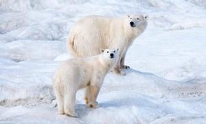 Polar bears in Arctic Russia are losing their sea-ice habitat.