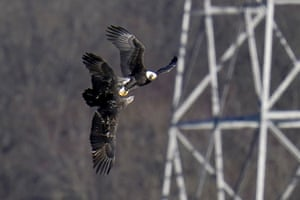 A bald eagle tries to snatch a fish from a juvenile bird in Havre De Grace, Maryland, US