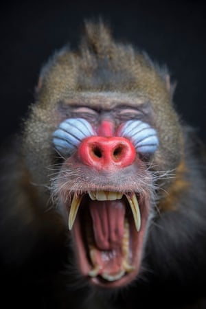 Mandrill – vulnerableThe male mandrill has a brightly coloured blue and red face and bottom that change colour depending on mood or when they are ready to mate. They bare their large canine teeth to warn off rivals and attract female attention.