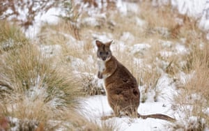 Parma Wallaby in the snow. It's conservation status in NSW is listed as vulnerable and it has no Commonwealth status as yet.