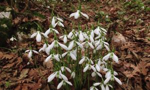 Galanthus bursanus, a new species of snowdrop from north-west Turkey.