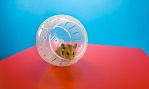 A hamster in a wheel