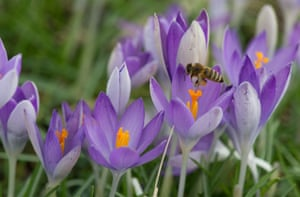 A bee collects pollen from a crocus in Freiburg, Germany