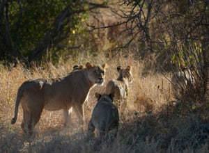 A lioness and her cubs at the Selenkay community conservancy in Kenya
