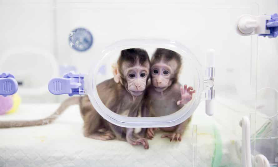 two cloned baby macaques in an incubator or transparent cage in china january 2018