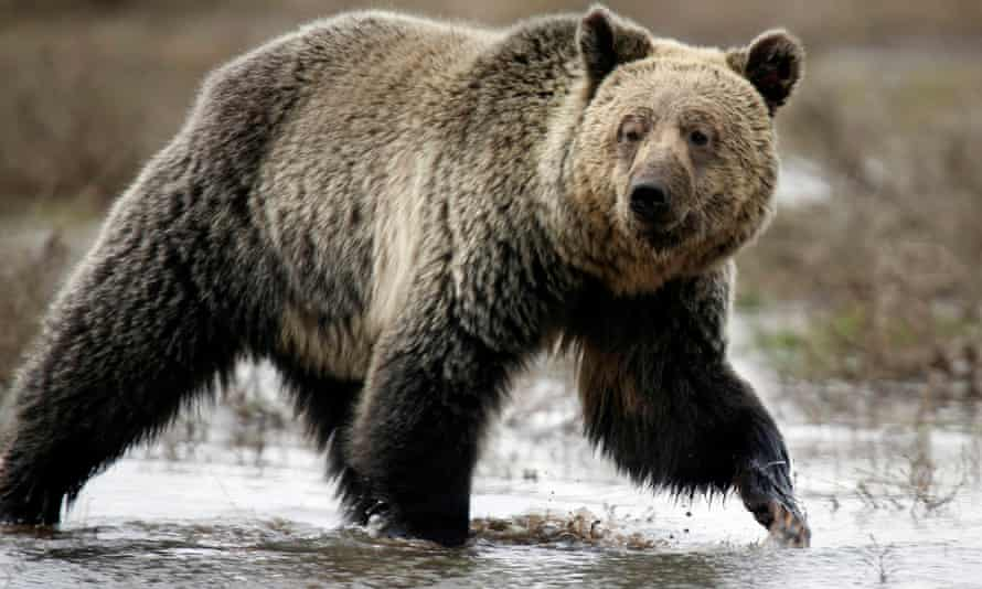 The grizzly bear is one of the animals named in the EPA analysis.