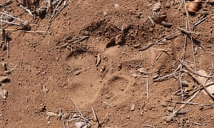 Lion paw-print in Limpopo national park, Mozambique.